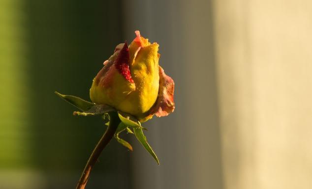 rose-2910445_1920